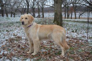 Elsa-Breeding-Dogs-300x199